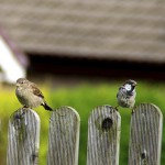 Two birds on a fence